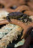 Shore Crab Royalty Free Stock Photo