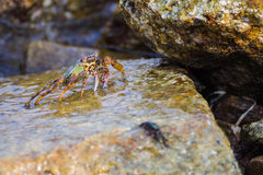 Shore crab Royalty Free Stock Photos