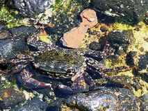 Shore crab camouflaging in the rockpool. Fish, colourful, wildlife, marine life , fishing , reef, coral , rocks, ecosystem, marine species, biology, ocean royalty free stock image