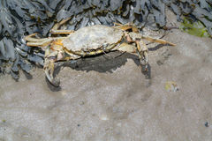 Shore crab in defence Royalty Free Stock Photo