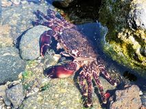 Shore crab exoskeleton shed in a rock pool royalty free stock image