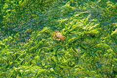 Shore crab walking on seaweed, Waddensea, Netherlands. Shore crab, Carcinus maenas, walking on sea lettuce, Ulva lactuca, on saltwater tidal flats at low tide of Royalty Free Stock Photo