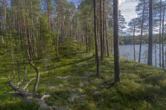Shore of a forest lake. Royalty Free Stock Image