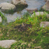 On the shore in the grass duck family. Family duck and ducklings in a nest on the shore in the grass royalty free stock photography