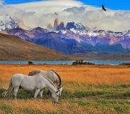 On the shore grazing horses Stock Photos