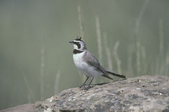 Shore or horned lark, Eremophila alpestris Royalty Free Stock Photos
