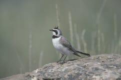 Shore or horned lark, Eremophila alpestris. Single bird on rock, Canada Royalty Free Stock Photos