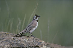 Shore or horned lark, Eremophila alpestris Stock Photography