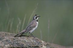 Shore or horned lark, Eremophila alpestris. Single bird on rock, Canada Stock Photography