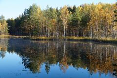Shore of the lake with autumn forest of coniferous and deciduous trees with reflection in the water. Birches are yellow and orange, pines are green. The water Royalty Free Stock Photos