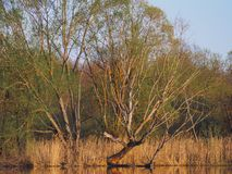 Shore of a lake with trees at sunset of the day. Young willow above water royalty free stock photography
