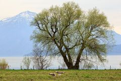Shore of the lake Zug in the spring. Cham, canton of Zug, Switzerland. Shore of the lake Zug in the spring with a couple of wild geese flying over the grass Royalty Free Stock Images