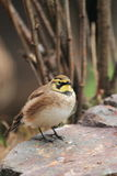 Shore lark. The shore lark sitting in the rock Stock Photos
