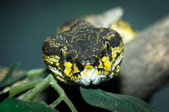 Shore pit viper snake Royalty Free Stock Photo