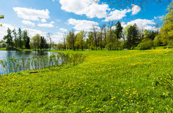 Shore of the pond with dandelions Royalty Free Stock Photography