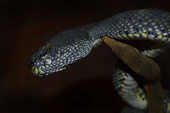 Shore's Pit Viper Stock Photo