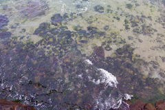 Shore sea algae Stock Images