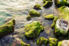Shore of sea with green seaweed and mossy on stones in water. Top view of seascape. Shore of sea with green seaweed and mossy on stones in water. Top view of Stock Image