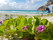 Shore Varadero Cuba, flowers. Shore-Sight with Flowers, caribean Royalty Free Stock Photos