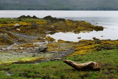 Shore view with bright yellow moss, green grass and boulders with a snag on the foreground.  Stock Image
