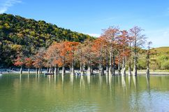 Cypress trees dot a pond in Sukko. royalty free stock photos