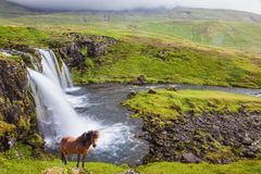 On the shore of waterfall Icelandic horse grazing Royalty Free Stock Image