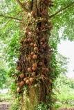 Shorea дерева Shala robusta стоковая фотография rf