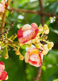 Shorea Robus flowers Royalty Free Stock Image