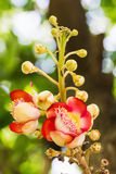 Shorea Robus flowers Royalty Free Stock Photos
