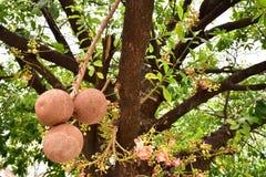 Shorea robusta ή φρούτα δέντρων Sala Στοκ Εικόνα