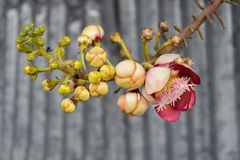 Shorea robusta ή Cannonball λουλούδι Στοκ φωτογραφία με δικαίωμα ελεύθερης χρήσης