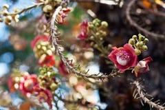Shorea robusta Royalty Free Stock Images