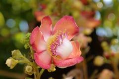 Shorea robusta Стоковые Фотографии RF