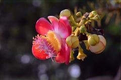 Shorea robusta bloem Stock Afbeeldingen