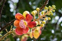 Shorea robusta Boom Royalty-vrije Stock Fotografie