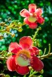 Shorea robusta, fiori del sal Fotografie Stock Libere da Diritti