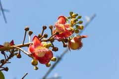 Shorea robusta flowers Stock Image