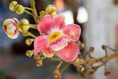 Shorea robusta flowers Stock Photography