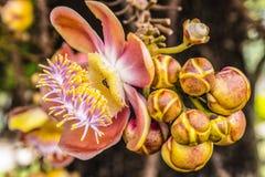 Shorea robusta lub Cannonball kwiat zdjęcie stock