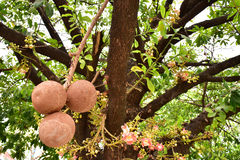 Shorea robusta lub Sala drzewny owoc Obraz Stock