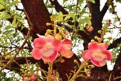 Shorea robusta o fiore del sal immagini stock libere da diritti