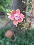 Shorea robusta ou árvore de Shala ou de árvore do Sal flor Fotos de Stock Royalty Free