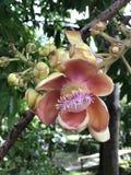 Shorea robusta ou árvore de Shala ou de árvore do Sal flor Foto de Stock