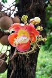 Shorea robusta Roxb Royalty Free Stock Images