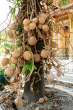 Shorea robusta roxb or Cannonball flower Stock Image