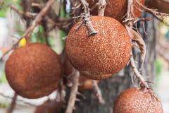Shorea robusta roxb or Cannonball flower Stock Photography