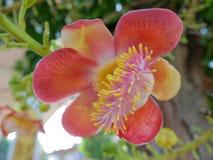 Shorea robusta Roxb Royalty Free Stock Image