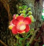 Shorea robusta, Sal kwiaty Zdjęcia Royalty Free