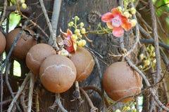 Shorea robusta tree royalty free stock image
