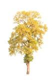 Shorea roxburghii, blossoming tropical tree Stock Images
